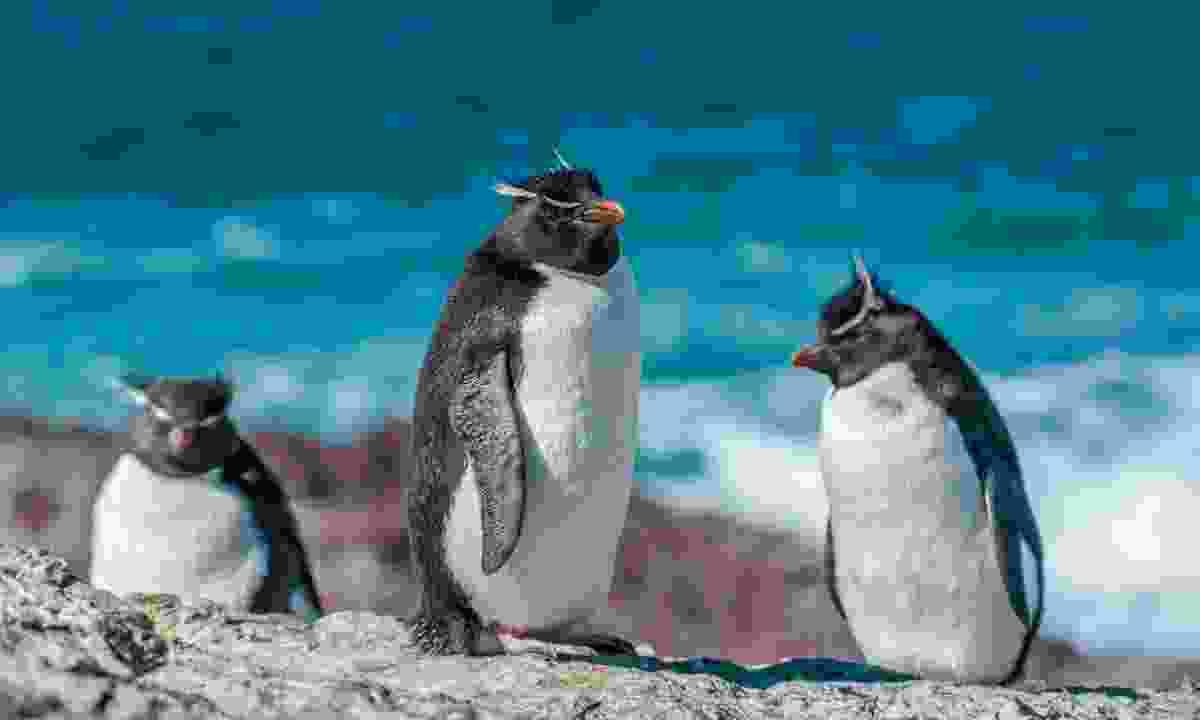 Rockhopper penguins (Dreamstime)