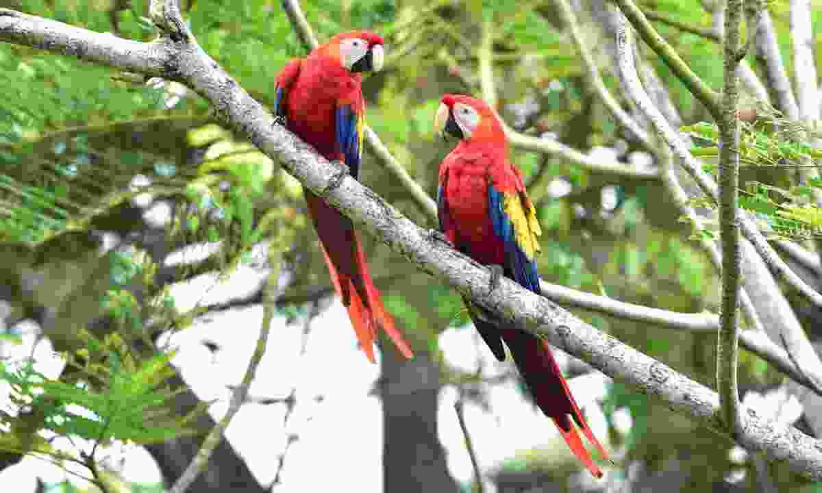 Scarlet macaws in a tree, Corcovado, Costa Rica (Dreamstime)