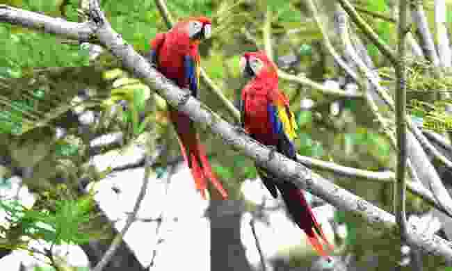 Scarlet macaws in a tree, Corcovado, Costa Rica (Dreamstime)