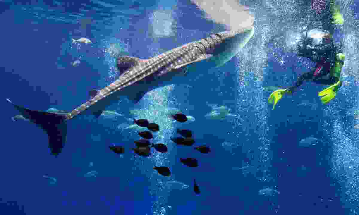 Dive with whale sharks (Dreamstime)