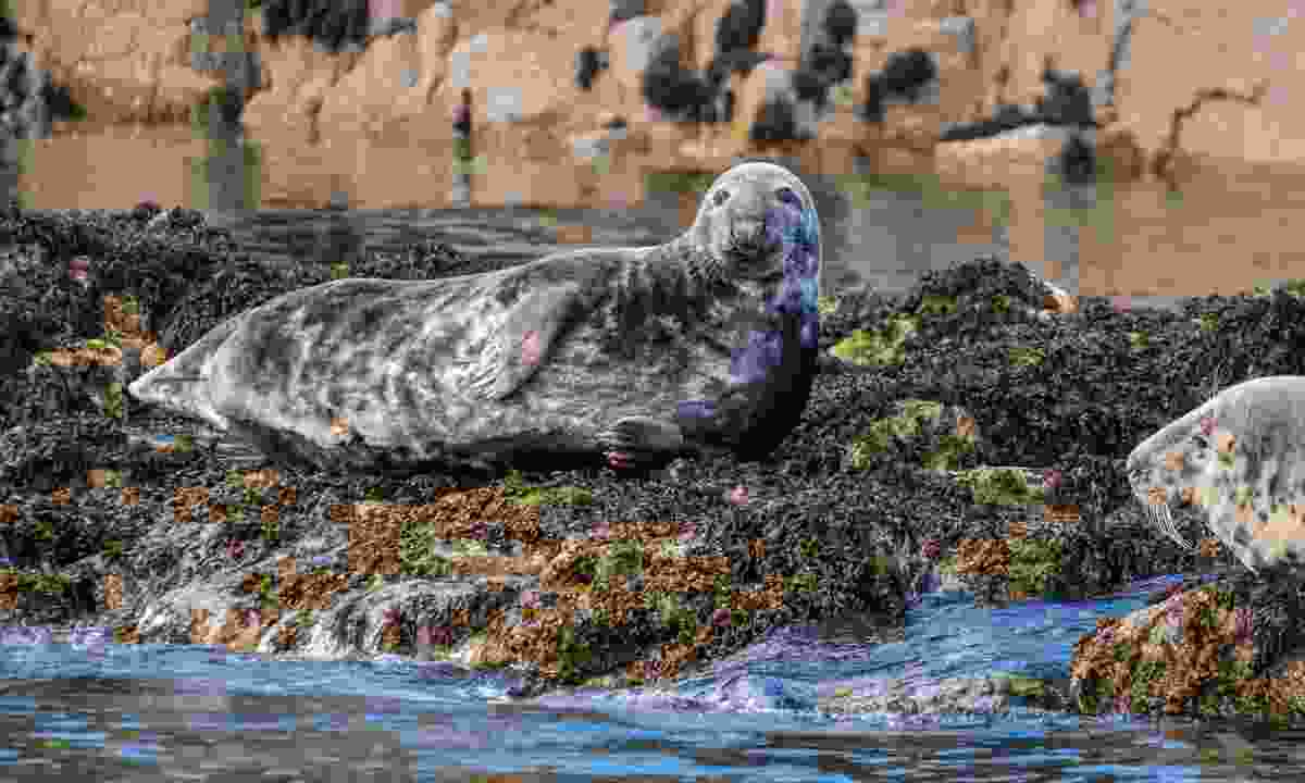 Farne Islands are a prime breeding ground for grey seals (Dreamstime)