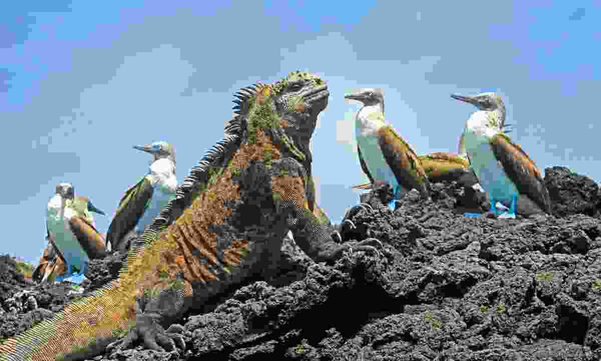 Blue-footed boobies and an iguana in the Galápagos (Dreamstime)