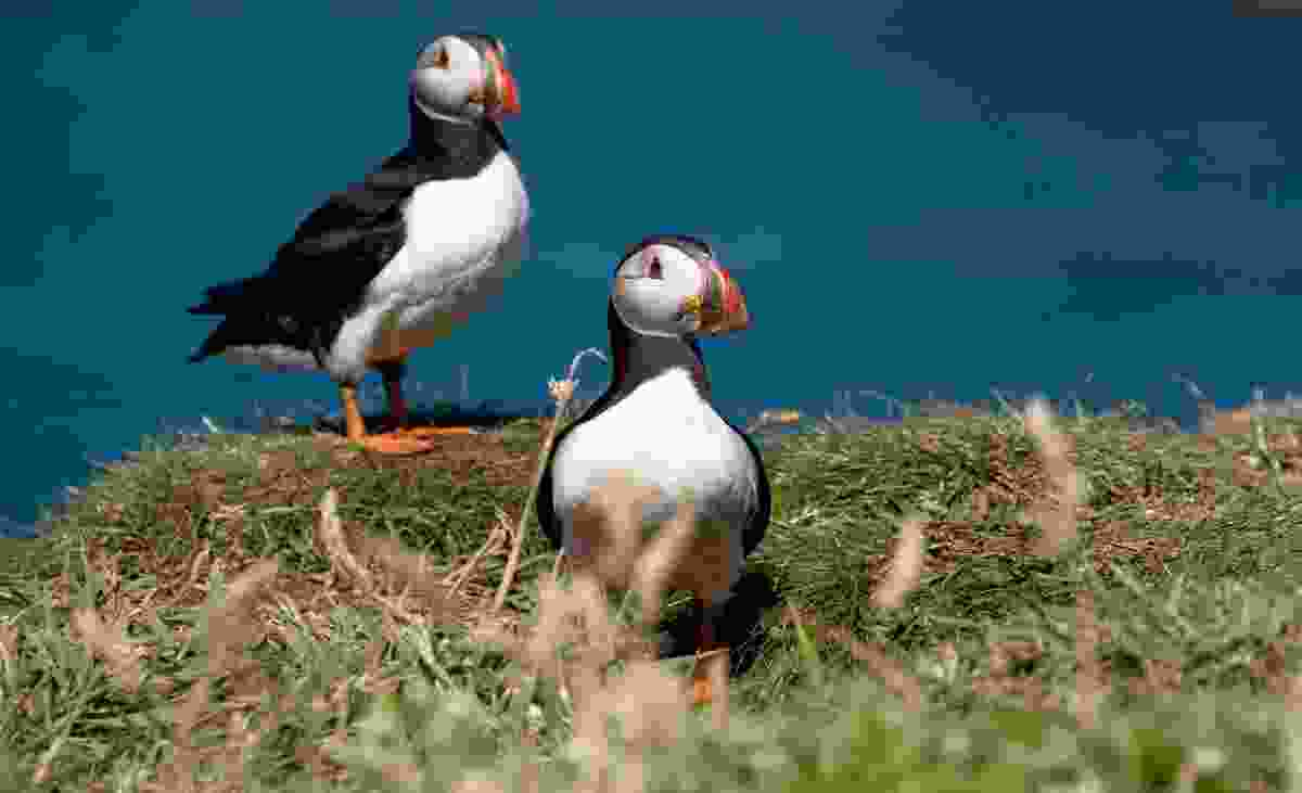 April to August are the best months top spot Puffins in the Inner Hebrides (Dreamstime)