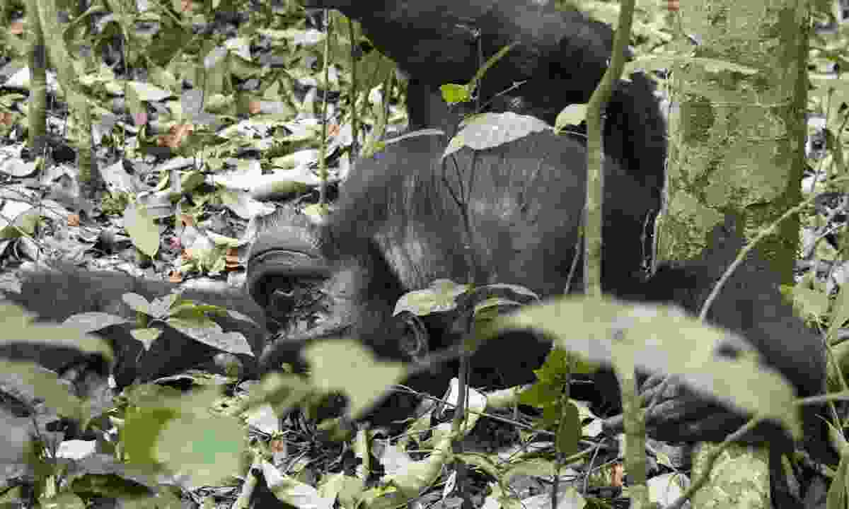 Chimpanzee lounging on the ground at Kibale National Park (Dreamstime)