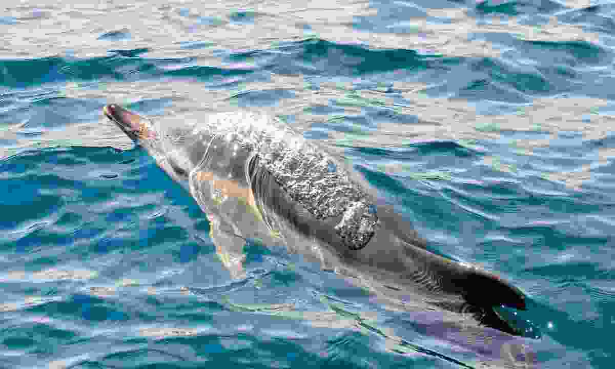 White-sided dolphin (Phoebe Smith)