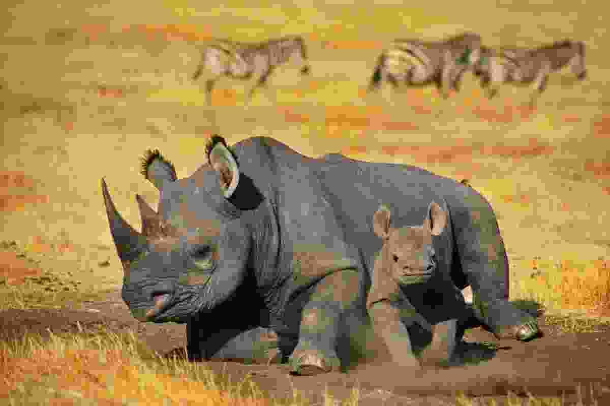 Black rhino in Tanzania (Frans Lanting)