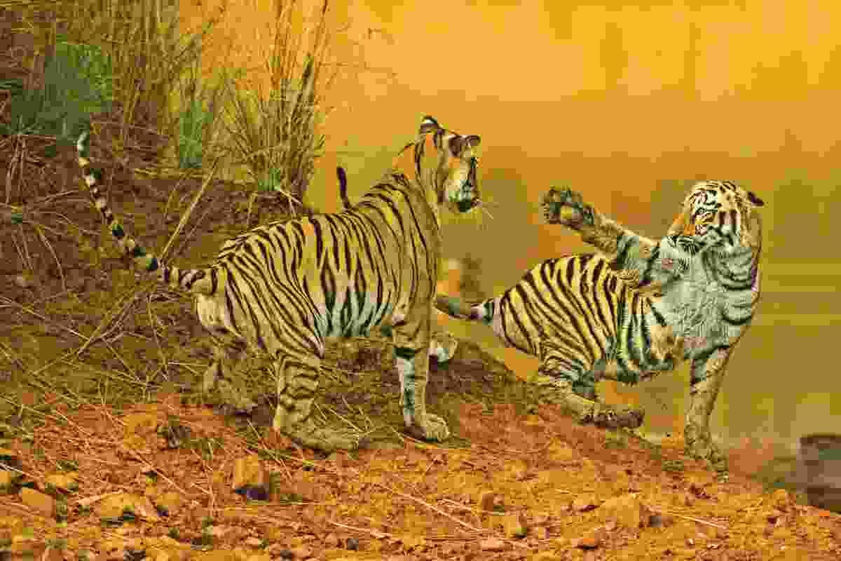 Tiger territory – Bengal tigers in Tadoba National Park, India (Baiju Patil)