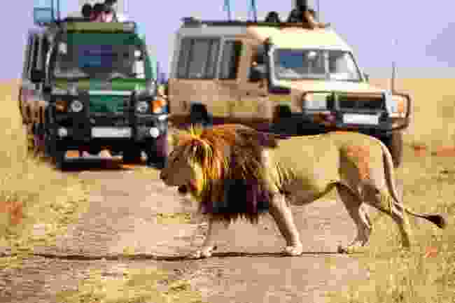 Nothing like the sight - and sound - of a lion on safari (Shutterstock)