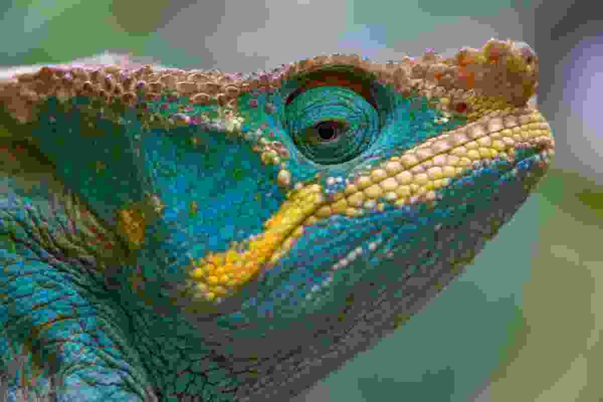 Parson's chameleon, Madagascar (Art Wolfe)