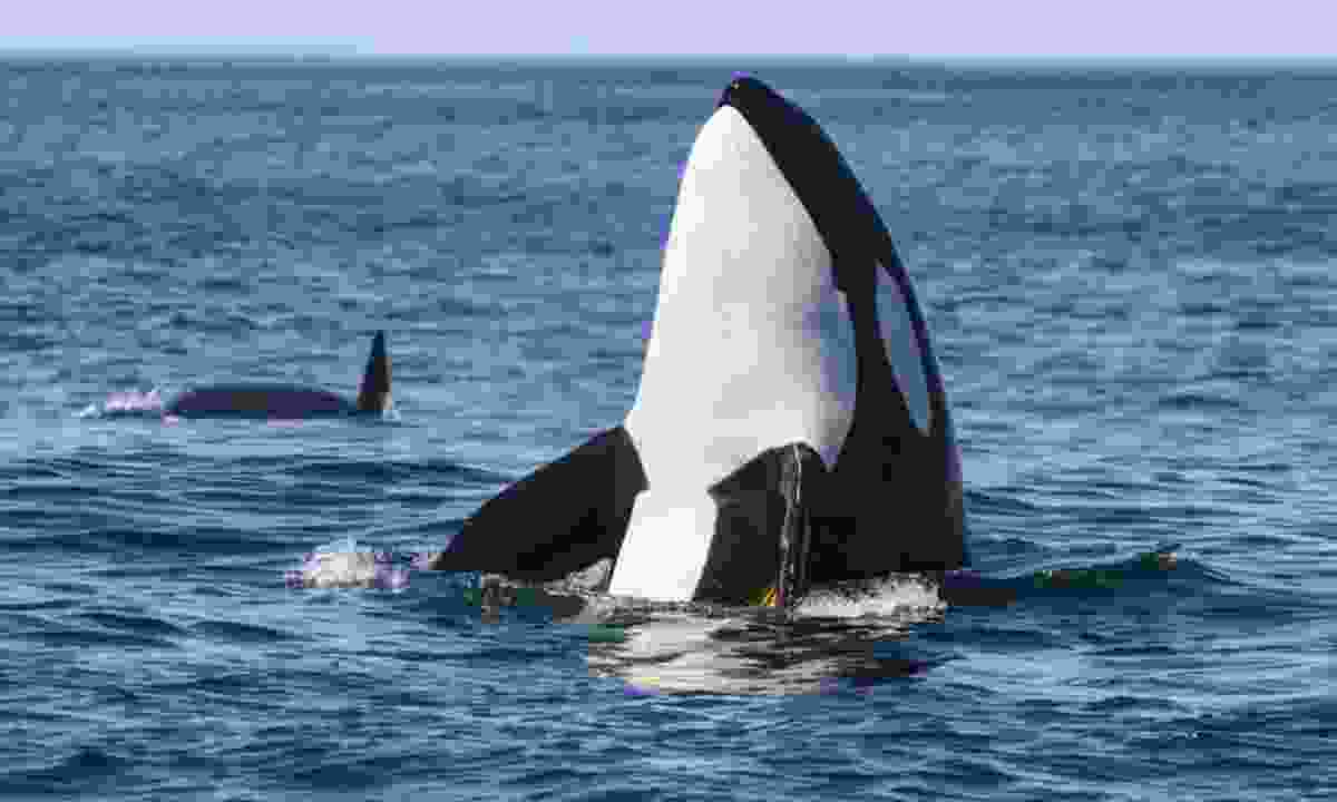 Orcas can be spotted off the shores of Mull (Shutterstock)