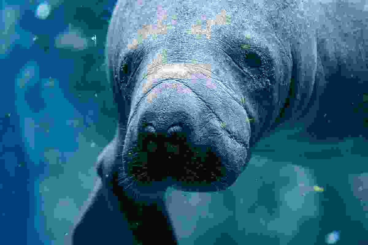 Phoebe got up close and personal with a manatee in Florida (Shutterstock)
