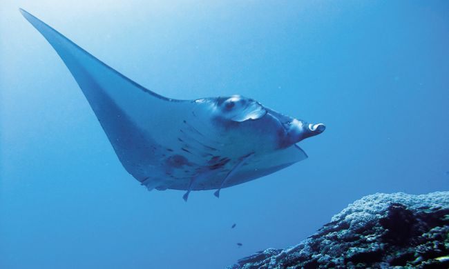 A manta ray swims in the ocean depths (Visit Okinawa)