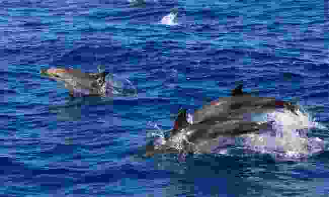 Spot dolphins in the Azores (Visitazores)
