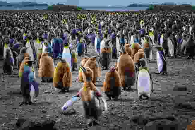 Penguins in South Georgia (Shutterstock)