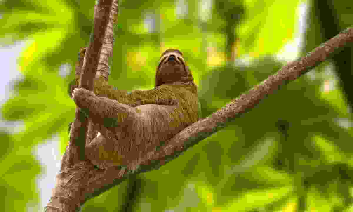 The best way to see Costa Rica's sloths is to look up