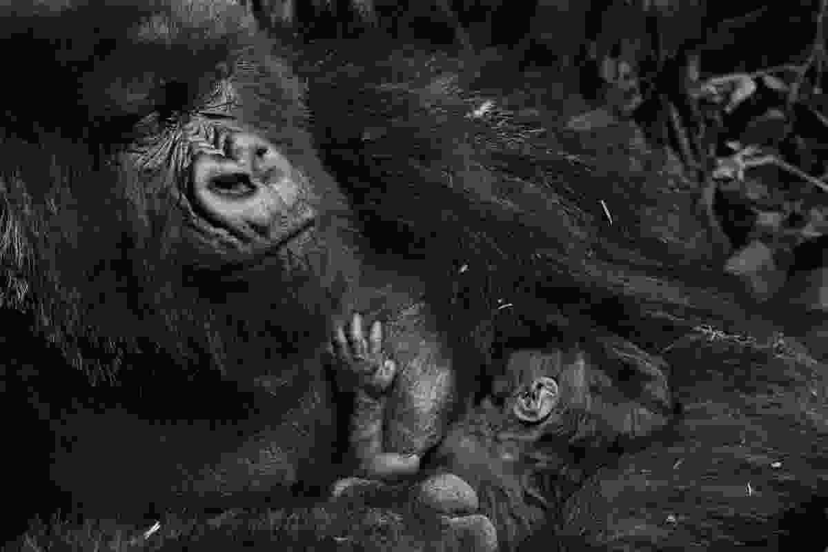 Mountain gorilla, Rwanda (Piper Mackay)