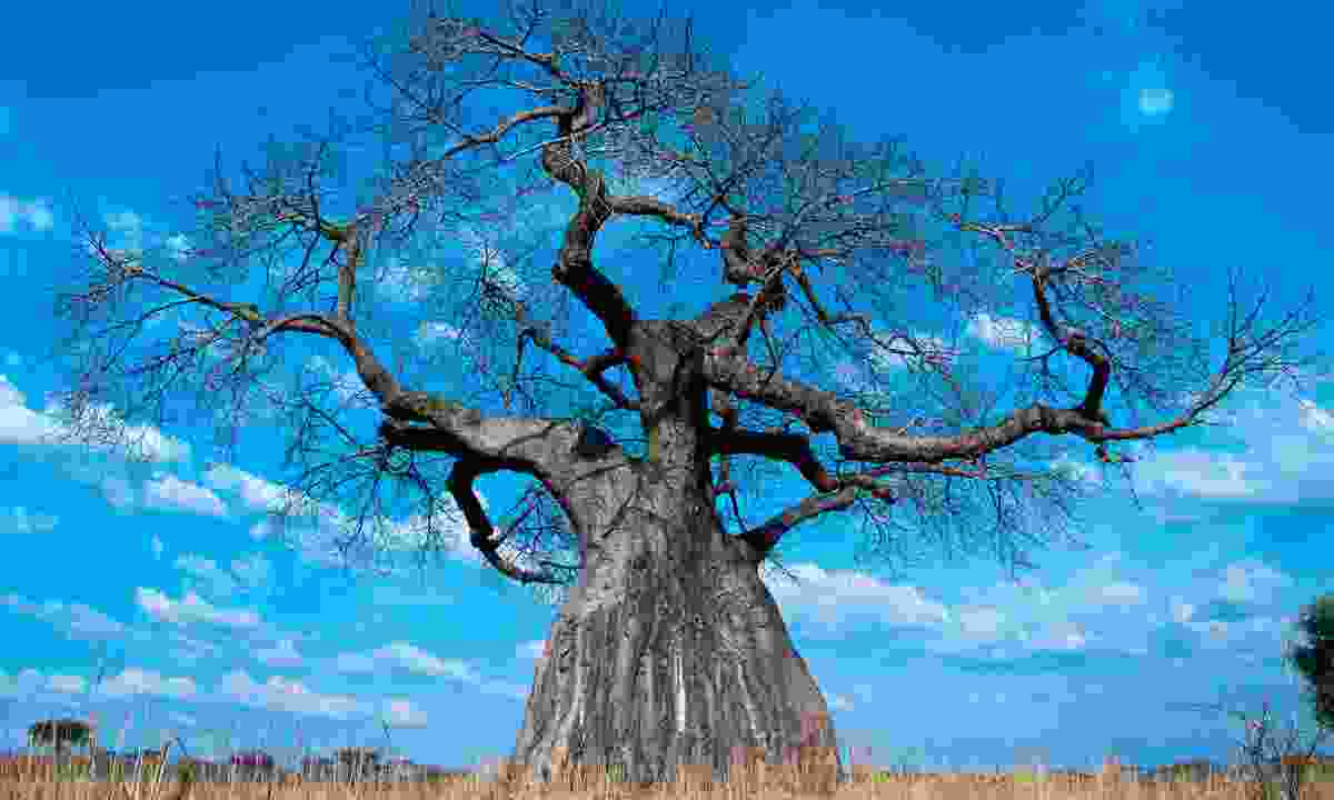 One of the many baobab trees in the park (Shutterstock)