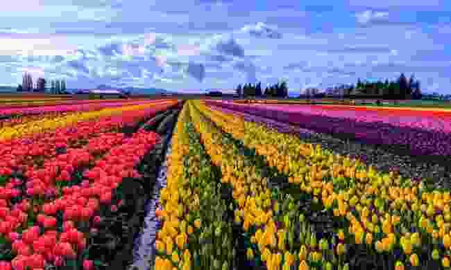 Tulips in the Skagit Valley, Washington (Shutterstock)