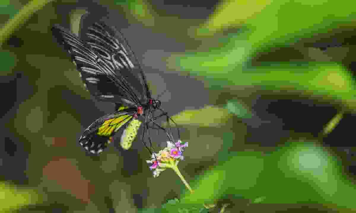 Queen Alexandra Birdwing (Shutterstock)