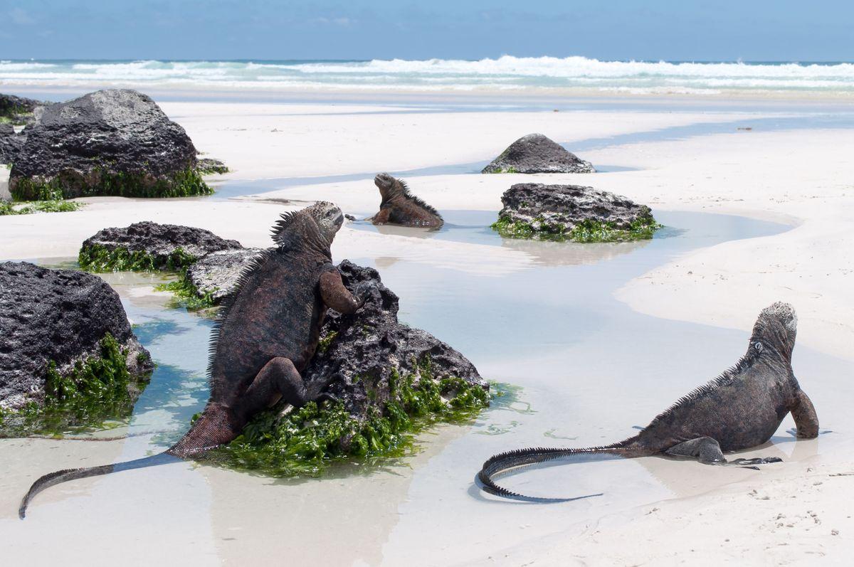 Marine iguanas, Galápagos Islands. (Shutterstock)