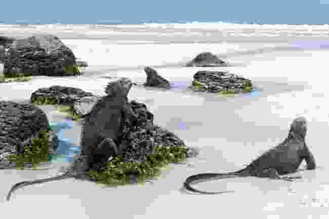 Marine iguanas, Galápagos Islands (Shutterstock)