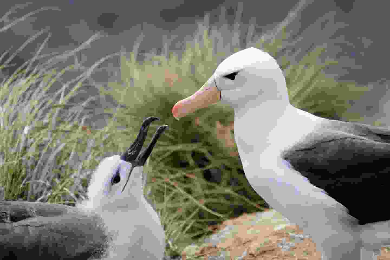 The black-browed albatross, Falkland Islands (Shutterstock)