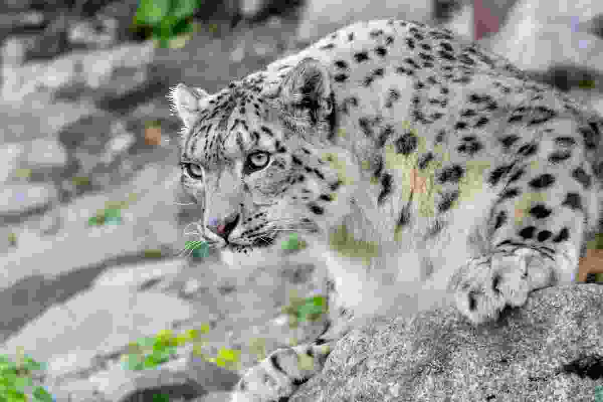 A rare snow leopard in the Himalaya (Shutterstock)