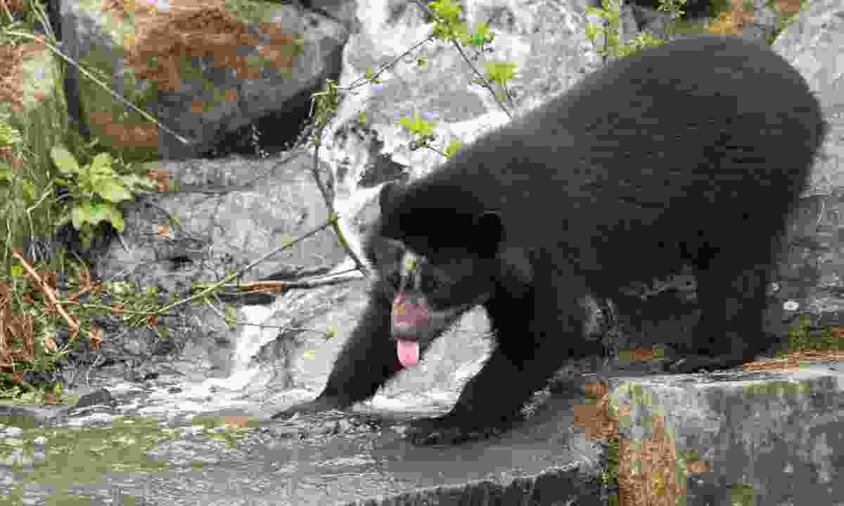 Spectacled bear (Dreamstime)
