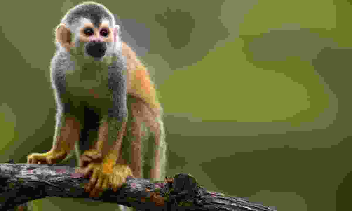 Squirrel monkey in Costa Rica (Dreamstime)