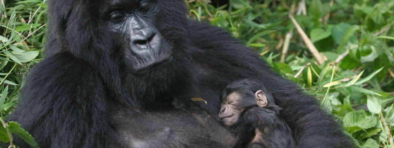Rwanda gorillas (Exodus)