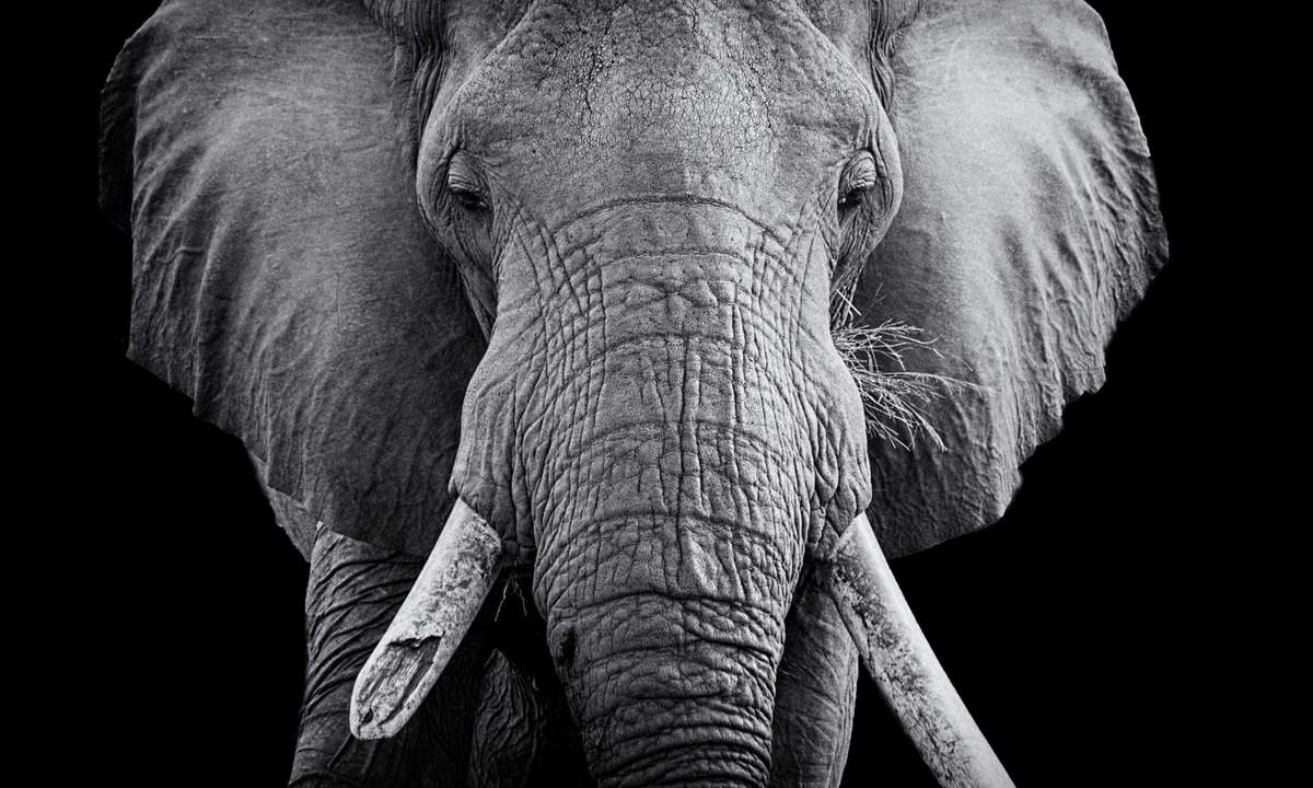"""""""All the elephants there are broken tusked"""" (Fred Barrington)"""