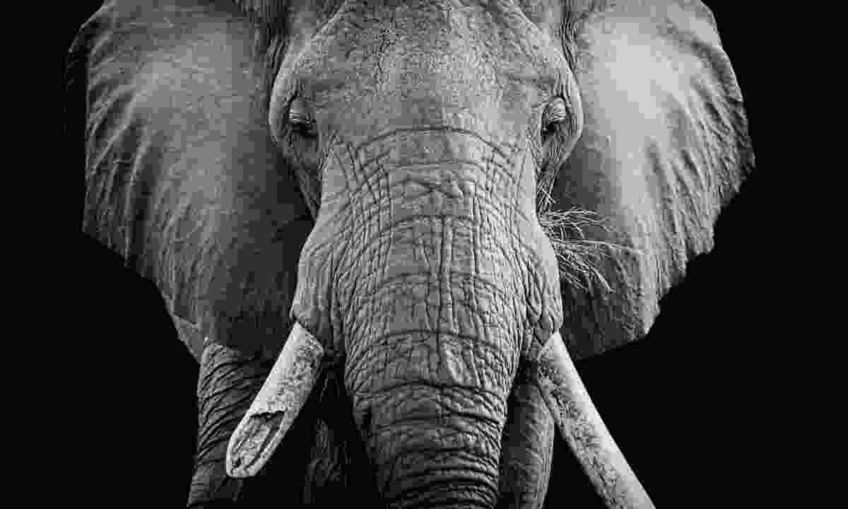 """All the elephants there are broken tusked"" (Fred Barrington)"