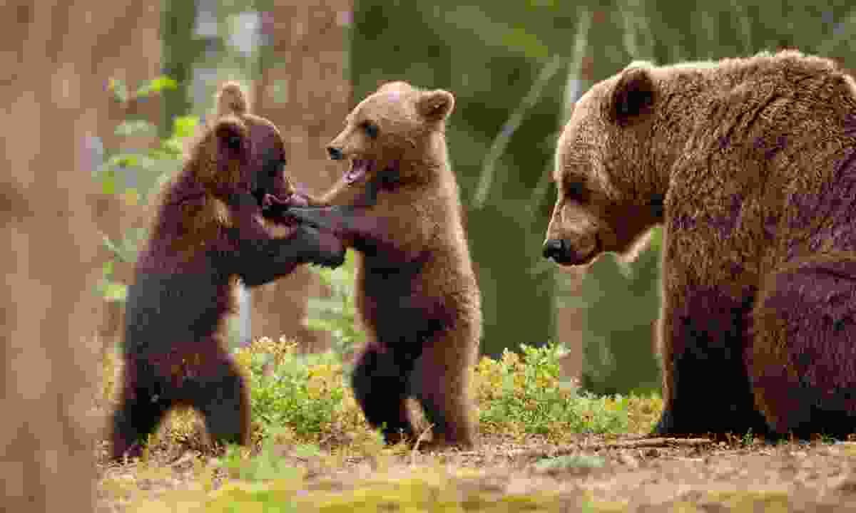 Brown bear mum and her playful cubs in Finland (Dreamstime)