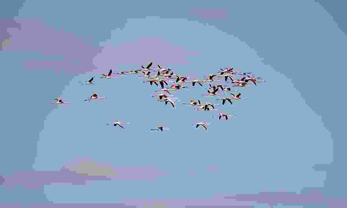 Flamingoes flying towards Jordan (Dreamstime)
