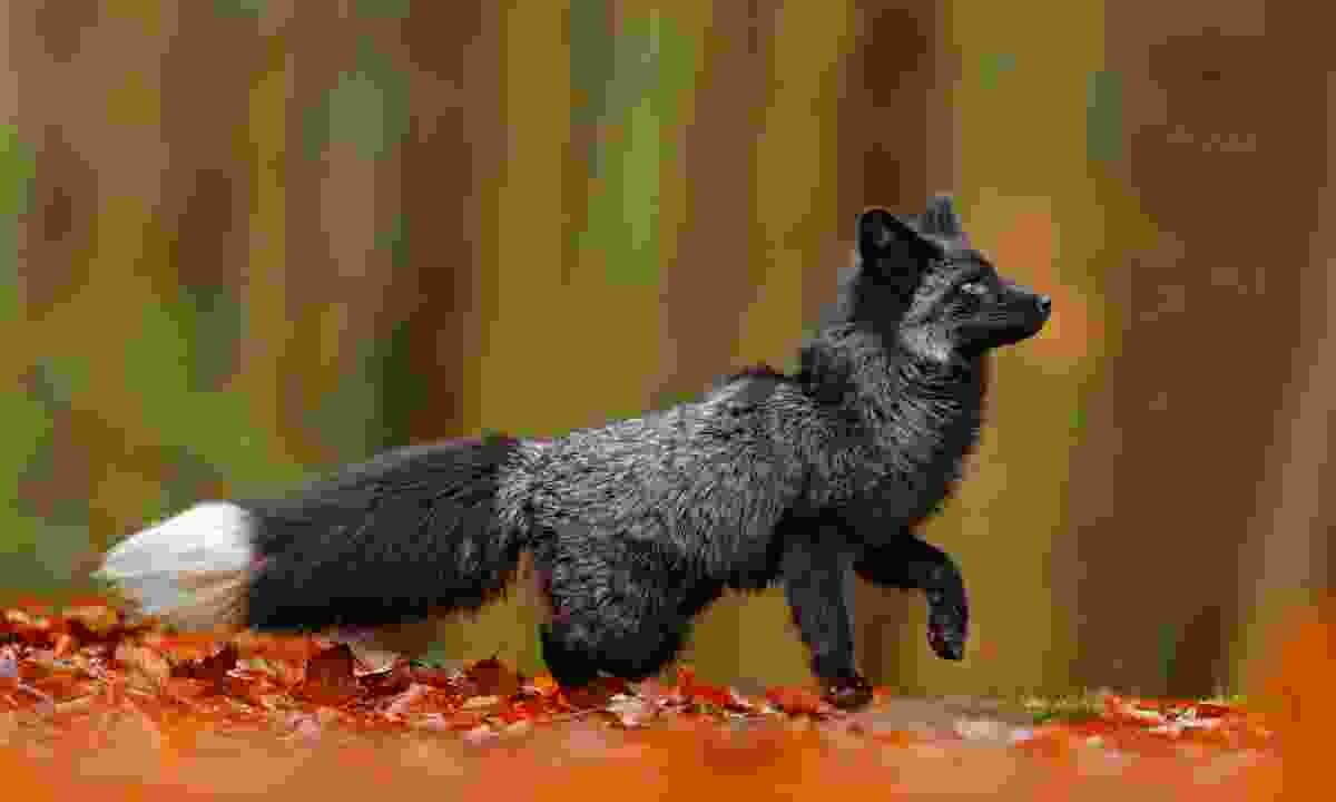 Black silver fox playing in autumn leaves in Finland (Dreamstime)