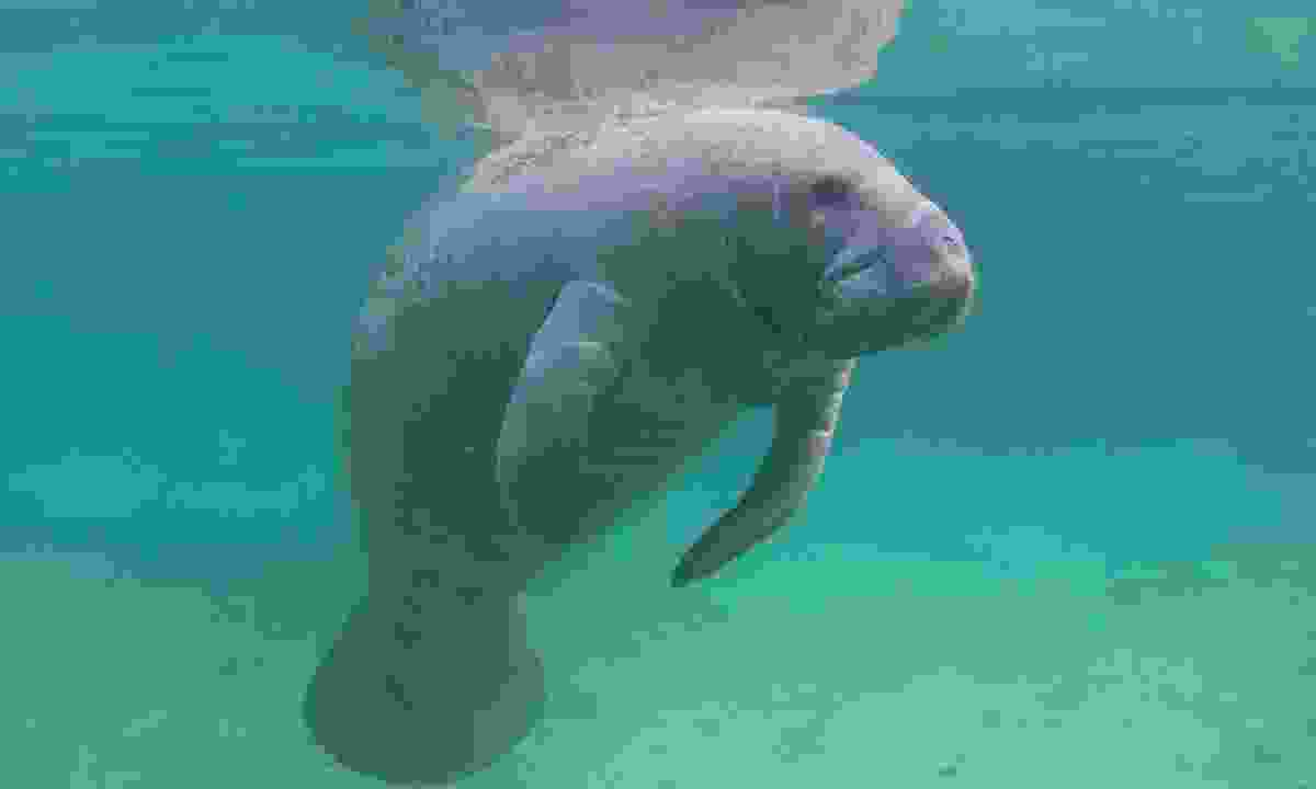A manatee floating under water (Dreamstime)