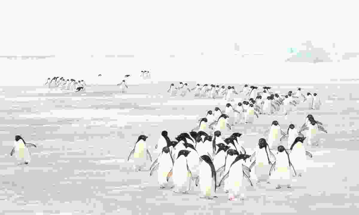 A group of penguins walking through the icy landscape of Antarctica (Dreamstime)