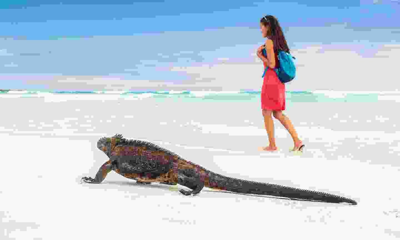 Marine iguana walking on Tortuga Bay beach in Santa Cruz (Shutterstock)
