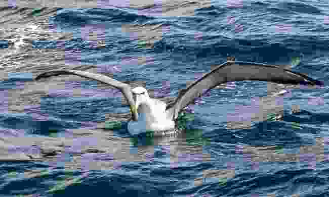 White-capped albatross are never disappointed (Creative Commons: Ron Knight)