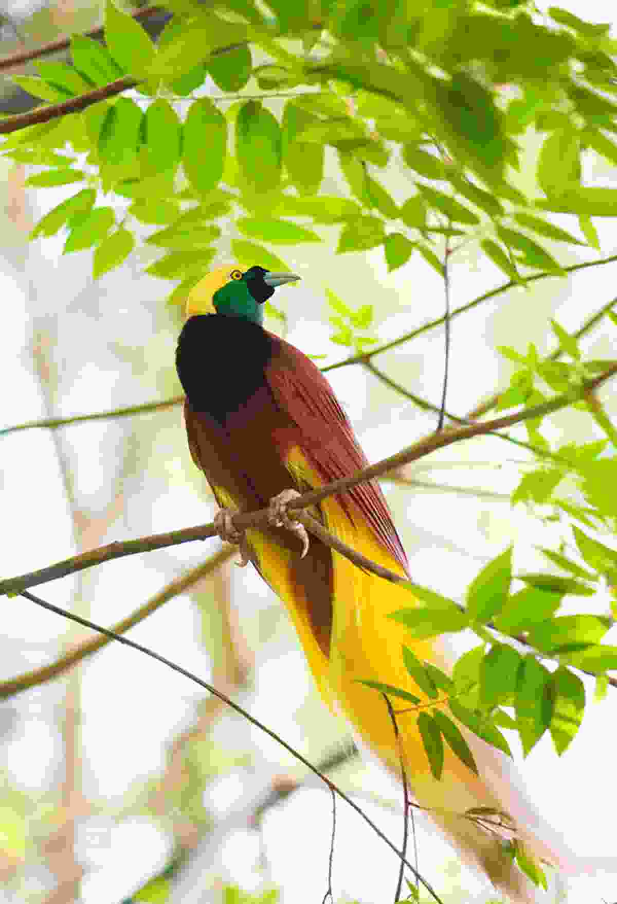Bird of paradise, Papua New Guinea (Dreamstime)