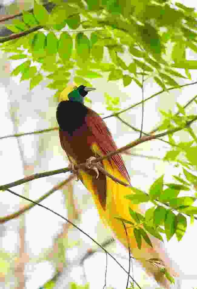Bird of paradise, Papua New Guinea (Dreamstime)