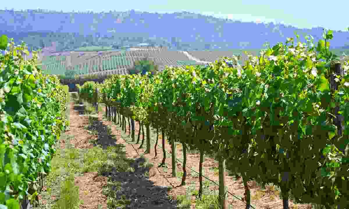 Casablanca Valley vineyard (Dreamstime)