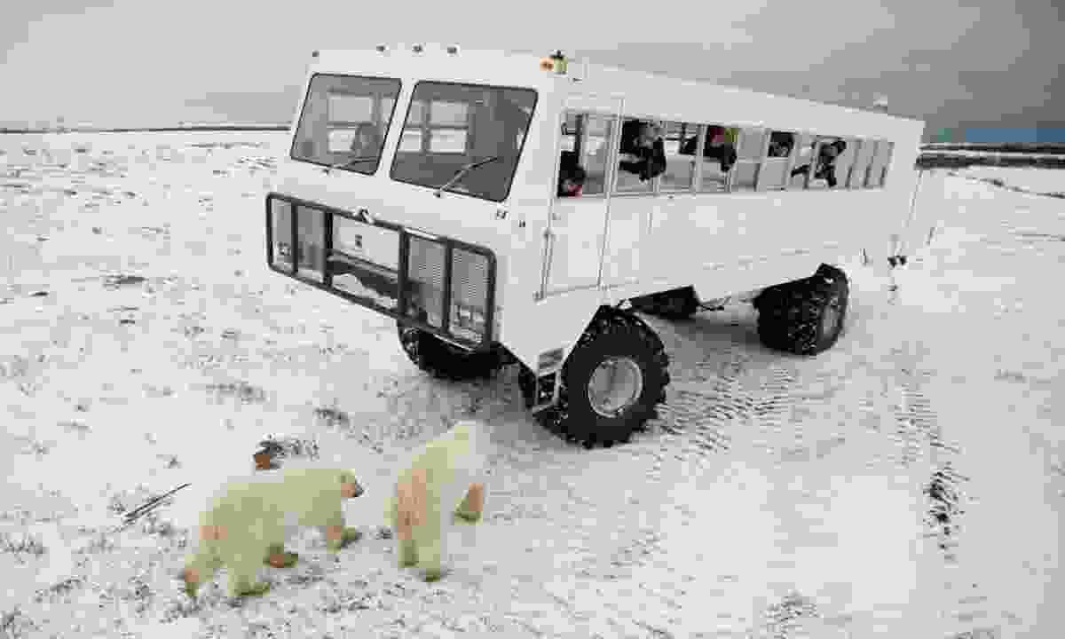 Take a polar bear tour in Churchill (Dreamstime)