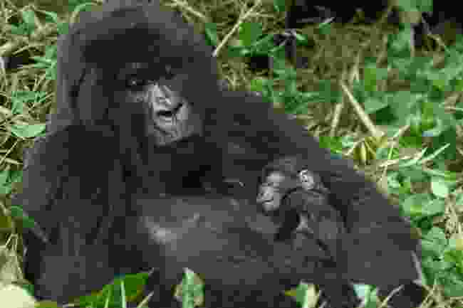 Mountain gorillas in Uganda (Dreamstime)