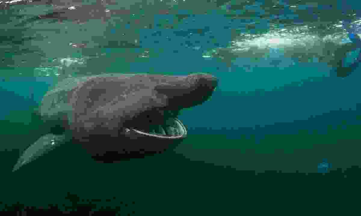 Diving alongside a large basking shark (Dreamstime)