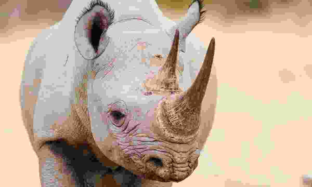 A black rhino in Estosha National Park, Namibia (Dreamstime)