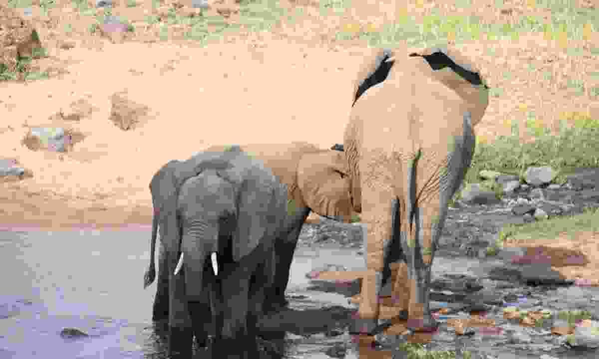 Baby elephants digging near the water (Dreamstime)