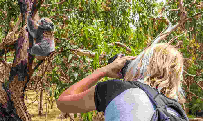 Photographing a koala (Dreamstime)