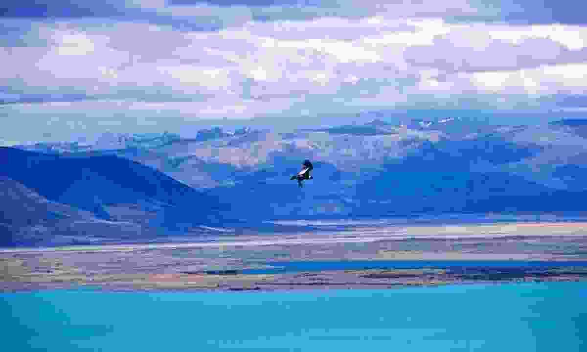 A condor in flight near El Calafate (Dreamstime)