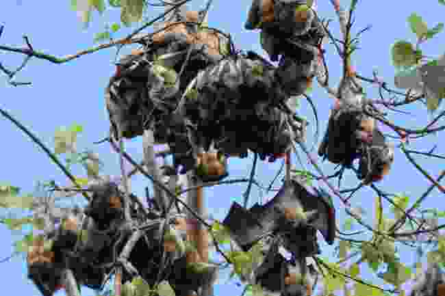 Straw-coloured fruit bats during the day in Kasanka NP, Zambia (Shutterstock)